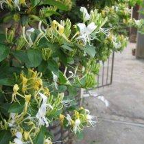 Lonicera japonica Hall's Prolific (Kamperfoelie/half wintergroen