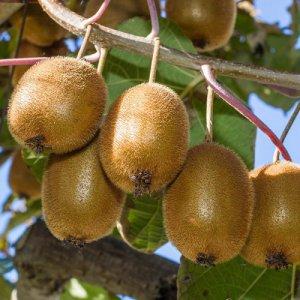 Kiwi (zoet)