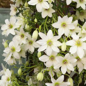 Clematis Early Sensation (groenblijvend)