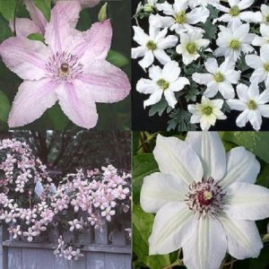 Roze - Wit Clematis mix