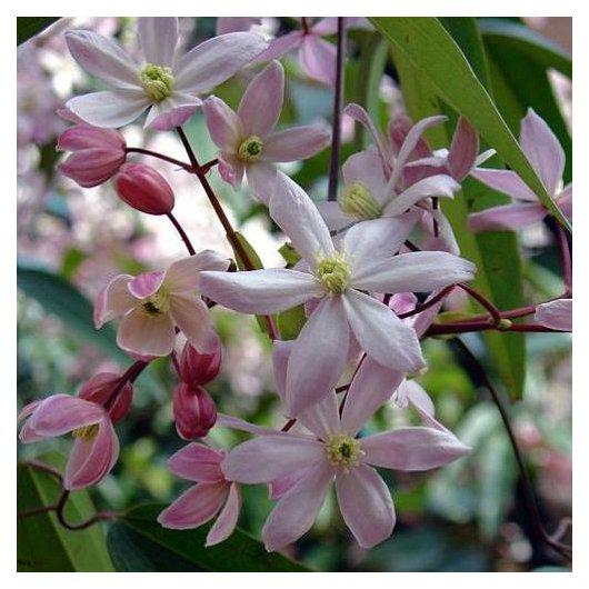 Clematis Armandii Apple Blossom (groenblijvend)