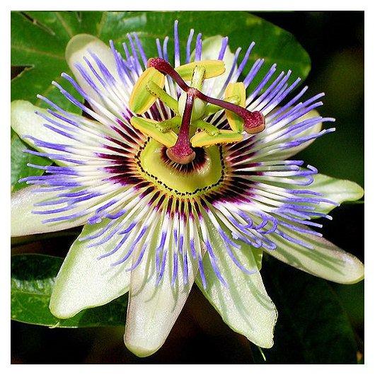 Passiflora (Passiebloem)