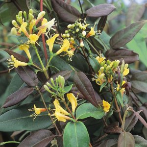 Lonicera henryi (Kamperfoelie/groenblijvend)