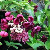 Akebia quinata (klimbes): semi wintergroen/groenblijvend