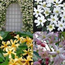 Wit/roze/geel en groenblijvende Clematis/klimplanten mix