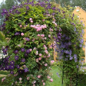 Clematis Etoile Violette + klimroos New Dawn