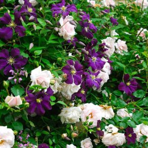 Clematis Viticella + Klimroos New Dawn