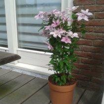 Clematis Hagley Hybrid (voor balkon en patio)