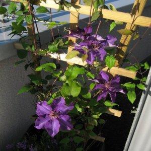 Clematis Jackmanii (voor balkon en patio)
