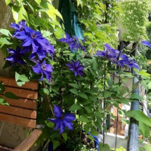 Clematis The President (voor balkon en patio)