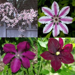Rood - Roze Clematis mix