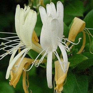 Lonicera Caprifolium...