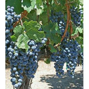 Blauwe druif - Boskoop Glory