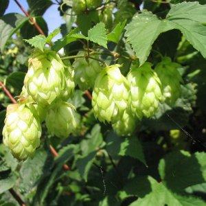 Hop (Humulus Lupulus Nordbrau)