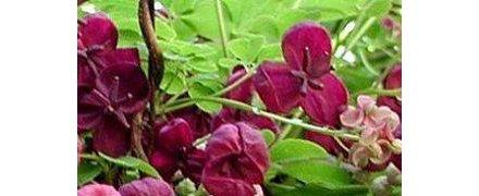 Groenblijvende klimplanten