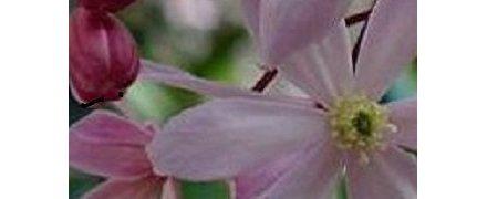 vroegbloeiende soorten Clematis